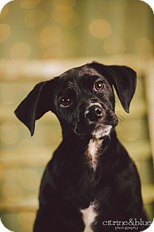 Basset Hound/Labrador Retriever Mix Puppy for adoption in Portland, Oregon - Clifford