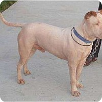 American Pit Bull Terrier Mix Dog for adoption in San Diego, California - Courtesy Listing: Marco