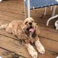Adopt A Pet :: Sammi - Shawnee Mission, KS
