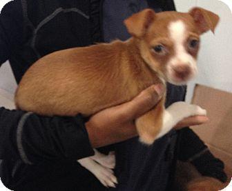 Shepherd (Unknown Type)/Terrier (Unknown Type, Medium) Mix Puppy for adoption in Encino, California - Camilla - Simona Pup