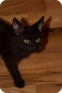 Domestic Shorthair Cat for adoption in Cincinnati, Ohio - Grizzly
