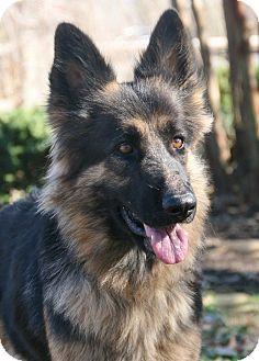 German Shepherd Dog Dog for adoption in Nashville, Tennessee - Kyra