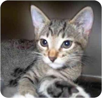 Domestic Shorthair Kitten for adoption in San Clemente, California - JADE