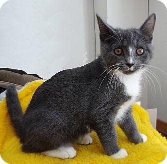 Domestic Shorthair Kitten for adoption in N. Billerica, Massachusetts - Teddy