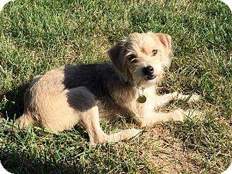 Dachshund/Terrier (Unknown Type, Small) Mix Dog for adoption in Overland Park, Kansas - Dawson
