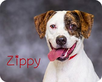 Retriever (Unknown Type)/Pit Bull Terrier Mix Dog for adoption in Somerset, Pennsylvania - Zippy