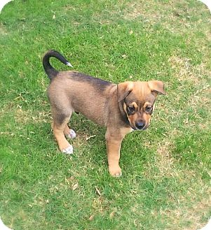 Labrador Retriever Mix Puppy for adoption in Mesa, Arizona - MAC 8 WEEK LAB