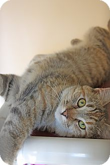 Calico Cat for adoption in Harrisonburg, Virginia - Daisy