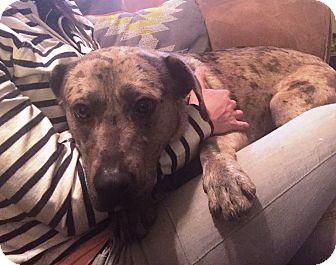 Catahoula Leopard Dog Mix Dog for adoption in Richmond, Virginia - Sharkie