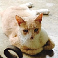 Domestic Shorthair Cat for adoption in San Antonio, Texas - Simba
