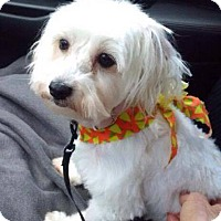 Adopt A Pet :: Daisy - Sinking Spring, PA