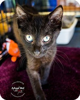 Havana Brown Kitten for adoption in Charlotte, North Carolina - A..  Maxwell