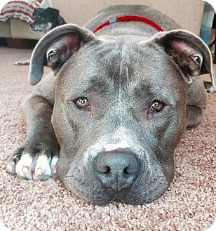 Pit Bull Terrier/Mastiff Mix Dog for adoption in Dana Point, California - Maverick