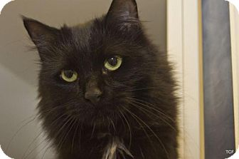 Domestic Mediumhair Cat for adoption in Bellingham, Washington - Saskia