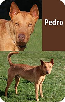 Carolina Dog Mix Dog for adoption in Idaho Falls, Idaho - Pedro