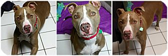 American Staffordshire Terrier Mix Dog for adoption in Forked River, New Jersey - Lucian