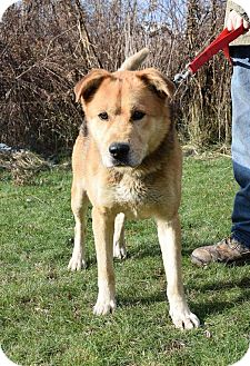 German Shepherd Dog/Golden Retriever Mix Dog for adoption in Lisbon, Ohio - Sarge