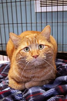 Domestic Shorthair Cat for adoption in Paris, Maine - Spike