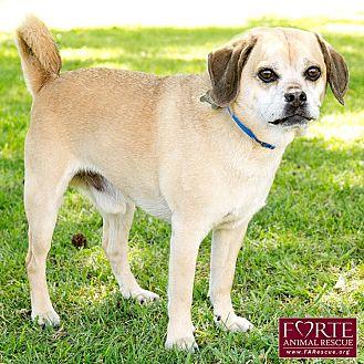 Pug/Beagle Mix Dog for adoption in Marina del Rey, California - Jack