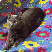 Domestic Shorthair Cat for adoption in Valley Park, Missouri - Ash