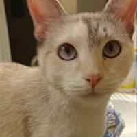 Siamese Cat for adoption in Calimesa, California - Agatha