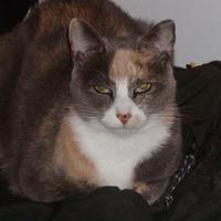 Domestic Shorthair/Domestic Shorthair Mix Cat for adoption in Allentown, Pennsylvania - Fiona