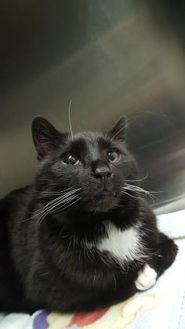 Domestic Shorthair/Domestic Shorthair Mix Cat for adoption in Cody, Wyoming - Quaker