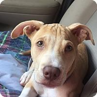 Adopt A Pet :: Gabriel - PARSIPPANY, NJ
