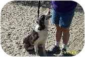 Border Collie Dog for adoption in Phelan, California - Potter