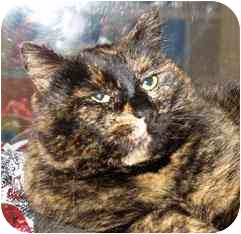 Domestic Shorthair Cat for adoption in Walker, Michigan - Molly