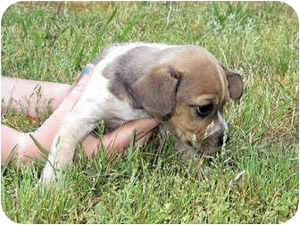 Fox Terrier (Toy) Mix Puppy for adoption in Mahwah, New Jersey - Evan