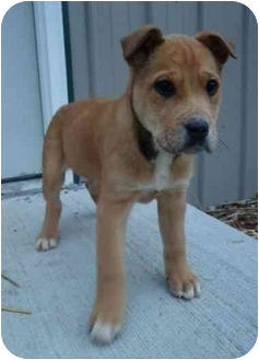 Boxer/Shepherd (Unknown Type) Mix Puppy for adoption in Cincinnati, Ohio - Harry