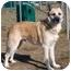 Photo 2 - German Shepherd Dog Mix Dog for adoption in Vineland, New Jersey - Slim Shady