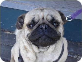 Pug Dog for adoption in Portland, Oregon - Hermie