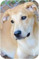 Labrador Retriever Mix Dog for adoption in Williamsburg, Virginia - Bentley