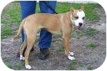 American Staffordshire Terrier Mix Dog for adoption in Summerville, South Carolina - Bailey