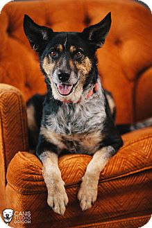 Australian Cattle Dog/German Shepherd Dog Mix Dog for adoption in Portland, Oregon - Felicity