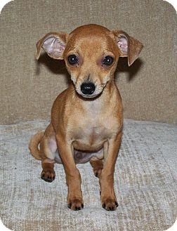 Chihuahua/Dachshund Mix Dog for adoption in Seattle, Washington - Chester