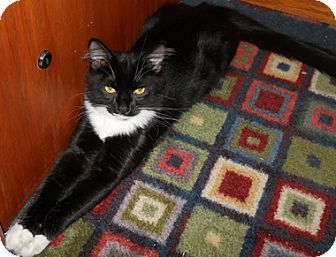 Domestic Mediumhair Cat for adoption in North Highlands, California - Chili
