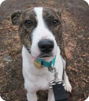 Pit Bull Terrier/Whippet Mix Puppy for adoption in Oak Ridge, New Jersey - Winter