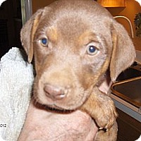 Adopt A Pet :: Red - Conway, AR