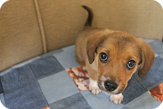 Shepherd (Unknown Type) Mix Puppy for adoption in Mt Sterling, Kentucky - Brownie