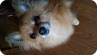 Pomeranian Dog for adoption in Battle Creek, Michigan - Molly