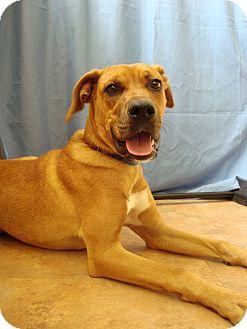 Boxer/Labrador Retriever Mix Dog for adoption in Youngwood, Pennsylvania - Pilot