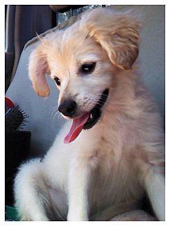 Spaniel (Unknown Type)/Papillon Mix Puppy for adoption in West LA, California - Farrah