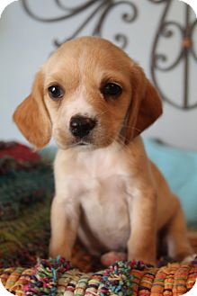 Cocker Spaniel/Labrador Retriever Mix Puppy for adoption in Staunton, Virginia - Monterey