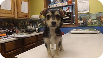 Yorkie, Yorkshire Terrier/Terrier (Unknown Type, Small) Mix Puppy for adoption in Columbus, Kansas - Remi