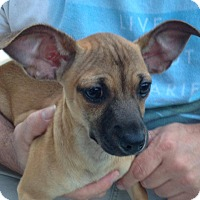 Adopt A Pet :: Violet - Hagerstown, MD
