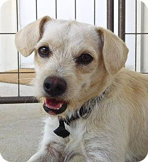 Wirehaired Fox Terrier Mix Dog for adoption in St. Francisville, Louisiana - Gypsy