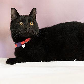 Domestic Shorthair Cat for adoption in Houston, Texas - Moondo
